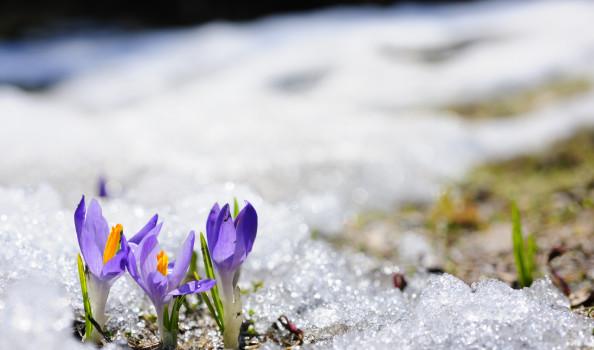 Spring crocus flowers blooming on snow