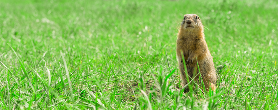 Gopher standing and starring on meadow