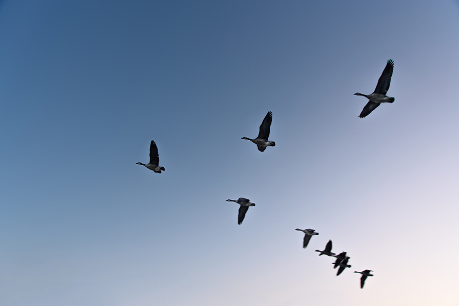 A flock of geese flying